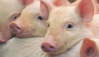 В Хмельницкой области вновь зафиксировали африканскую чуму свиней. Теперь в Полонном
