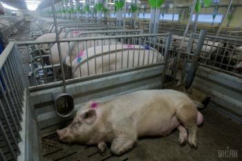 Беларусь ограничила ввоз свинины из Хмельницкой области