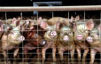 В Полонном ввели карантин из-за африканской чумы свиней